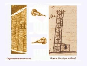 La somiglianza visiva dell'organo elettrico della torpedine con la pila di Volta. L'immagine a sinistra è tratta  da un articolo dell'anatomico inglese John Hunter (1728-1793) che nel 1773 ha pubblicato uno studio condotto proprio sulle torpedini utilizzate da Walsh nei suoi esperimenti a La Rochelle. L'immagine a sinistra è tratta dall'autografo del manoscritto in cui Alessandro Volta comunicava, il 20 Marzo 1800, la scoperta della pila.